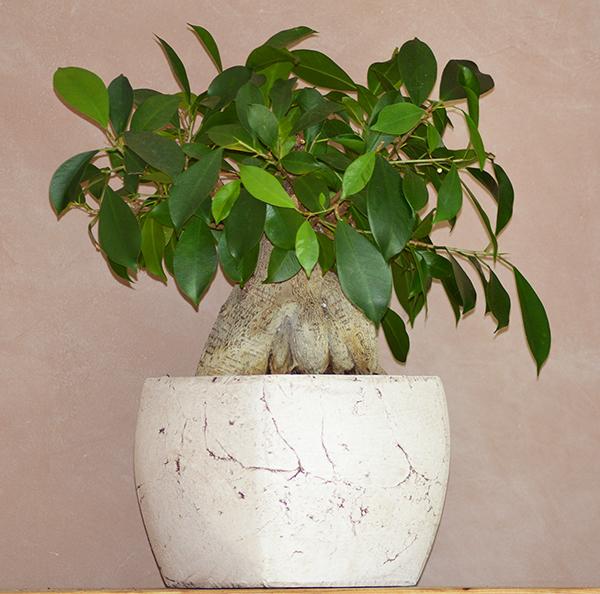 forums de jardinage • afficher le sujet - ficus ginseng forme