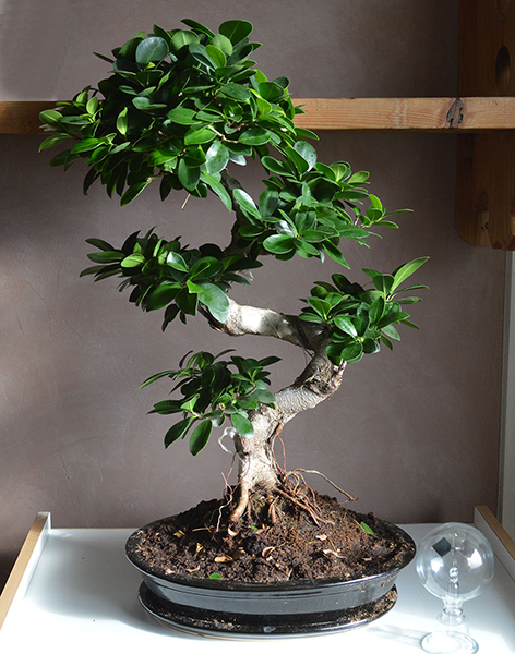 prix bonsai ficus ginseng. Black Bedroom Furniture Sets. Home Design Ideas